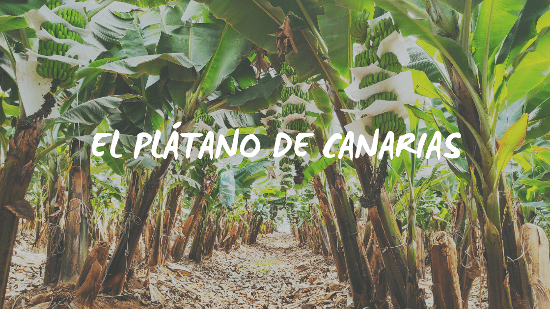 Enlace a El plátano de Canarias